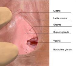 morfologi klitoris