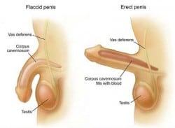 penampang cara memperpanjang penis